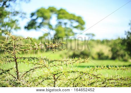 Close up of small thorny acacia tree Africa