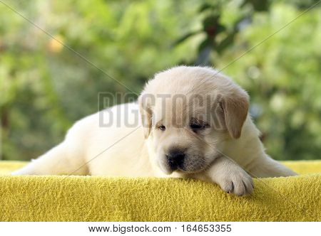 Little Cute Labrador Puppy On A Yellow Background