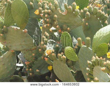 the blossoming cactus a prickly pear with edible fruits