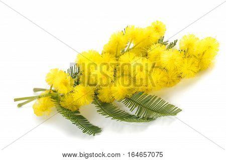 Mimosa (silver Wattle)