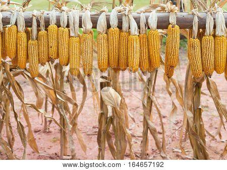 dry corns hanging near the field horizontal