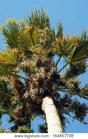 Crohn's palm against the bright  blue sky