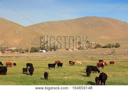 California Cattle