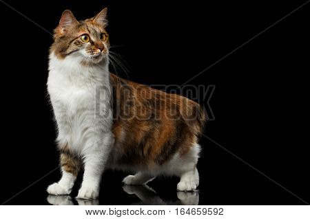 Crouch Ginger with white Kurilian Bobtail Cat standing on isolated black background, front view
