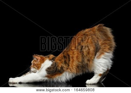 gymnastics Ginger with white Kurilian Bobtail Cat standing without tail on isolated black background, side view