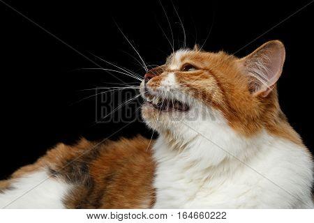 Close-up Ginger with white Kurilian Bobtail Cat meow on isolated black background
