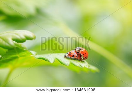 Two ladybugs mating on grass leaf in garden