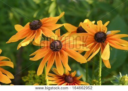 A bouquet of several bright colors rudbeckia hybrid