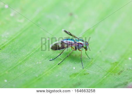 Close up view of real green long legged fly for insects macro photography commercial