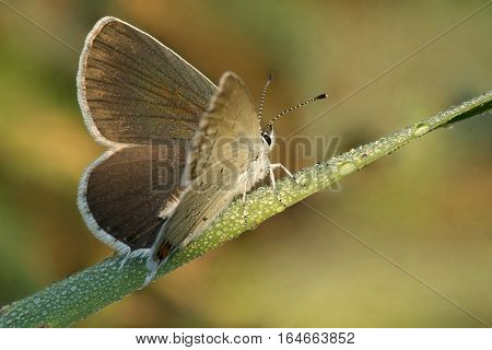 Butterfly Aricia atraxerxes (Argus Scottish Blue brown) on a blade of grass in the morning dew