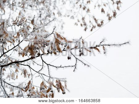 Linden tree branch with dry blossom clusters covered by frost crystals, cold winter weather