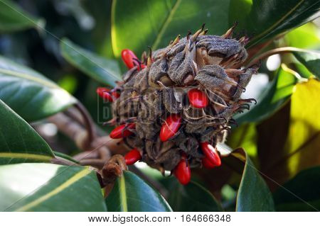 Fruit of the magnolia grandiflora with red seeds