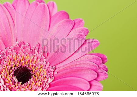 Closeup of a bright pink gerbera daisy