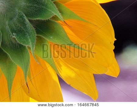 The sunshine smiles on this soft sunflower as it bathes in the afternoon's warmth