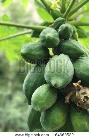 Fresh green papaya on tree The papaya tree with fruits green papaya is raw material of papaya salad