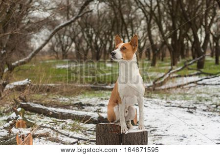 Outdoor portrait of gorgeous basenji dog sitting on a stub in winter park