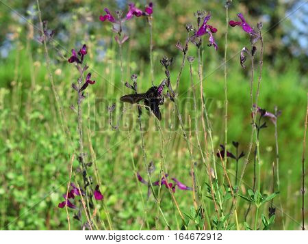 A large carpenter Bee pollinating the wild flowers of the South of France in mid summer.