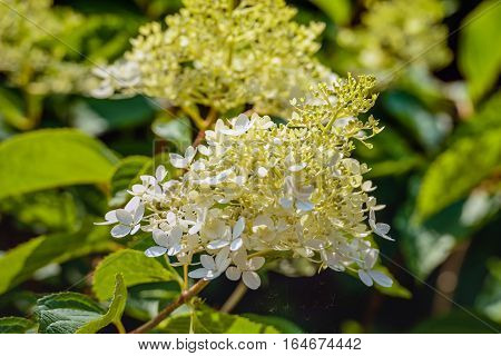Closeup of a white and creamy budding and flowering panicled hydrangea or Hydrangea paniculata plant on a sunny day in the Dutch summer season.