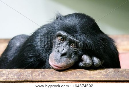 chimpanzee chimp (Pan troglodytes) ape looking to camera