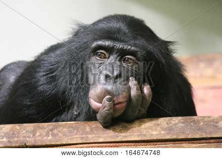 Chimp chimpanzee ape (Pan troglodytes) ape chimp looking thoughtful clever ponder primate