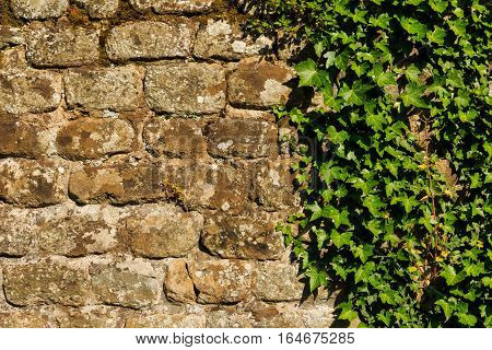 Rough wall with hedera plant attached to it