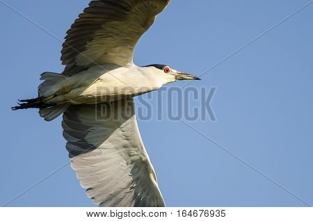 Black-Crowned Night Heron Flying in a Blue Sky