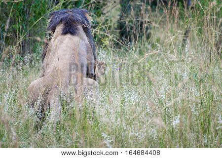 Rear view of lions mating in South Africa savanna