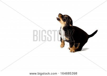 little puppy sitting on a white background