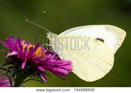 Butterfly Pontia edusa closeup sitting on a flower pink Aster