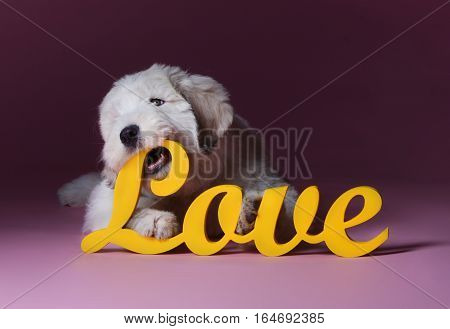 Puppy of russian sheepdog in love in studio with love letters
