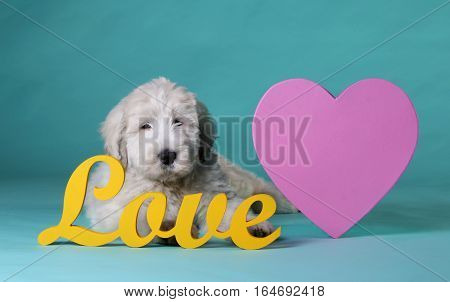 Puppy of russian sheepdog in studio with love letters