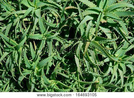 Background of Aloe vera (true aloe) leaves typical Mediterranean plant,Cyprus island,Europe
