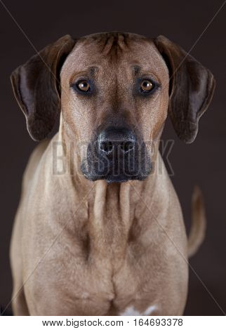 rhodesian ridgeback dog male portrait in studio