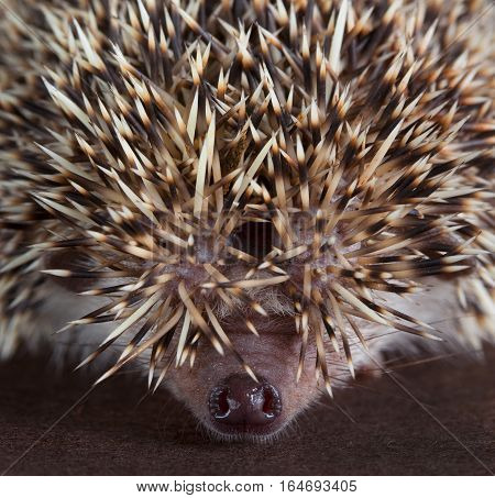 hedgehog macro in studio with brown background