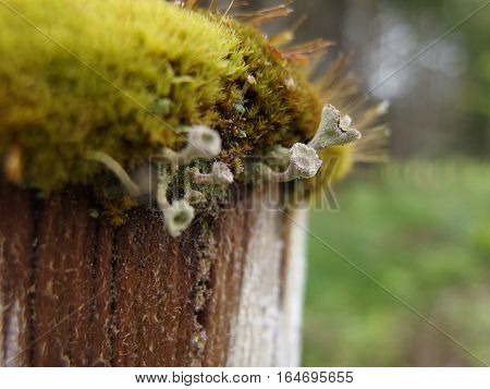 Weird fungus that look like golf tees growing out of moss on a post on a farm in rural Lane County in Western Oregon on a spring day.