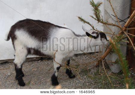 Blackwhite Goat