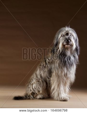 Catalan sheepdog in the studio with brown background