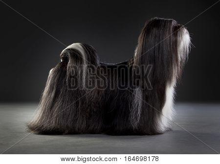 shih tzu dog portrait in studio with black background