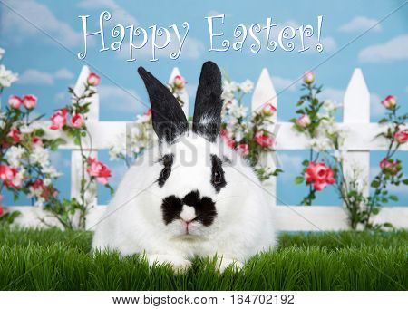 white and black dwarf mixed bunny laying in green grass facing viewer white picket fence with small pink roses. Blue background sky with clouds. Copy space.