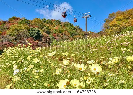 KOBE, JAPAN - November 24, 2016: Cosmos field in Kobe Nunobiki Herb Gardens and Ropeway.
