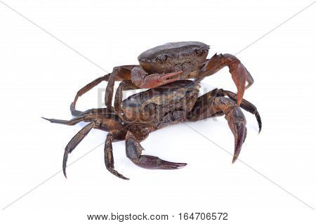 fresh ricefield crab on a white background