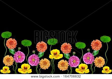Petunias and zinnias isolated on a black background with copy space. Colorful flowers border.