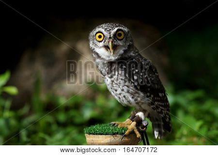 Closeup Of Spotted Owlet