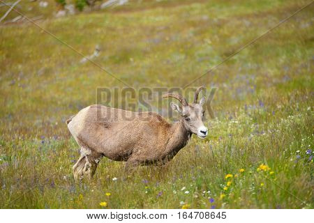 Young Big horn sheep in Mount Washburn hiking trail Yellowstone National Park WY