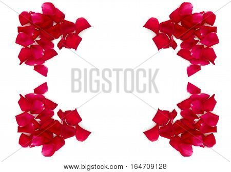 rose on white background, single red rose flower.