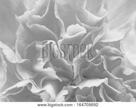 Black and white gray petal flowers in soft style for background.