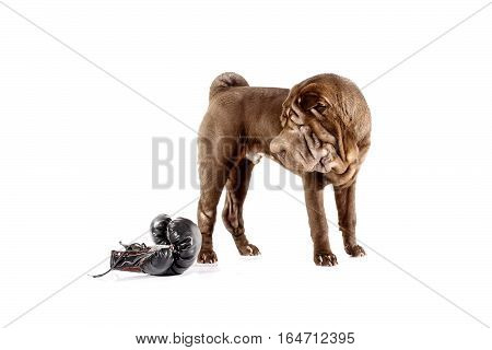 Shar pei dog with boxing glove isolated on white background
