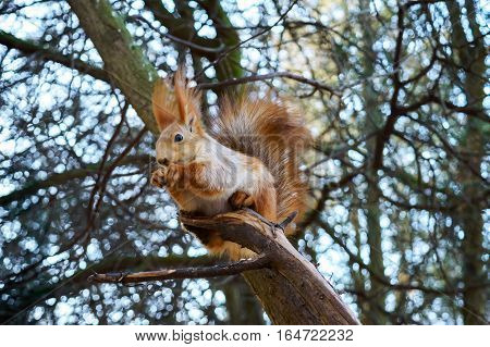 Squirrel ordinary orange sitting in a tree and eats. Cold season. Park zone. Forest.