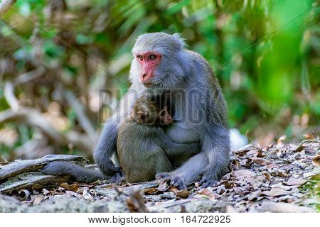 Female macaque feeding her baby in the jungle