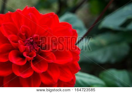 Autumn Blossom Macro of a red dahlia - cultivar Diva